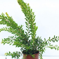 Callistemon-leavis-14Lt