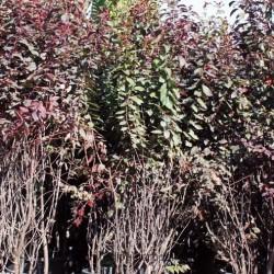 Prunus-cerasifera