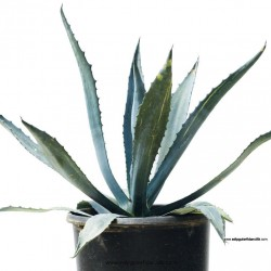 agave-americana-10lt