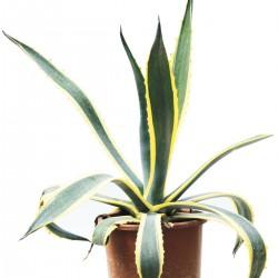 agave-americana-variegata-7lt