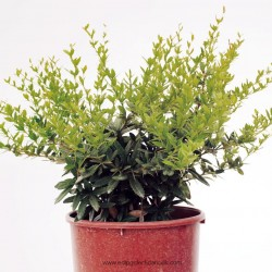 berberis-julianae-7lt