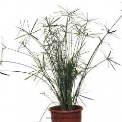 cyperus-alternifolius-nana-7lt