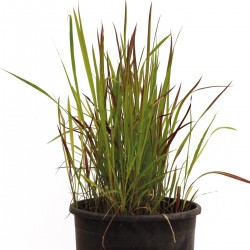 imperata-cylindrica-red-baron-10lt