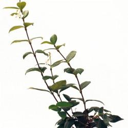 rhyncospermum-jasminoides-1lt