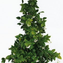 rhyncospermum-jasminoides19lt