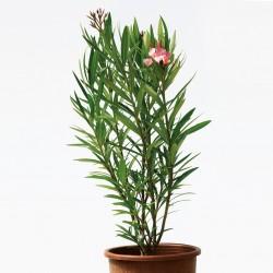 nerium-oleander-petite-salmon-7lt