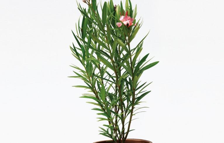 Nerium oleander  'Petite Salmon' 7lt