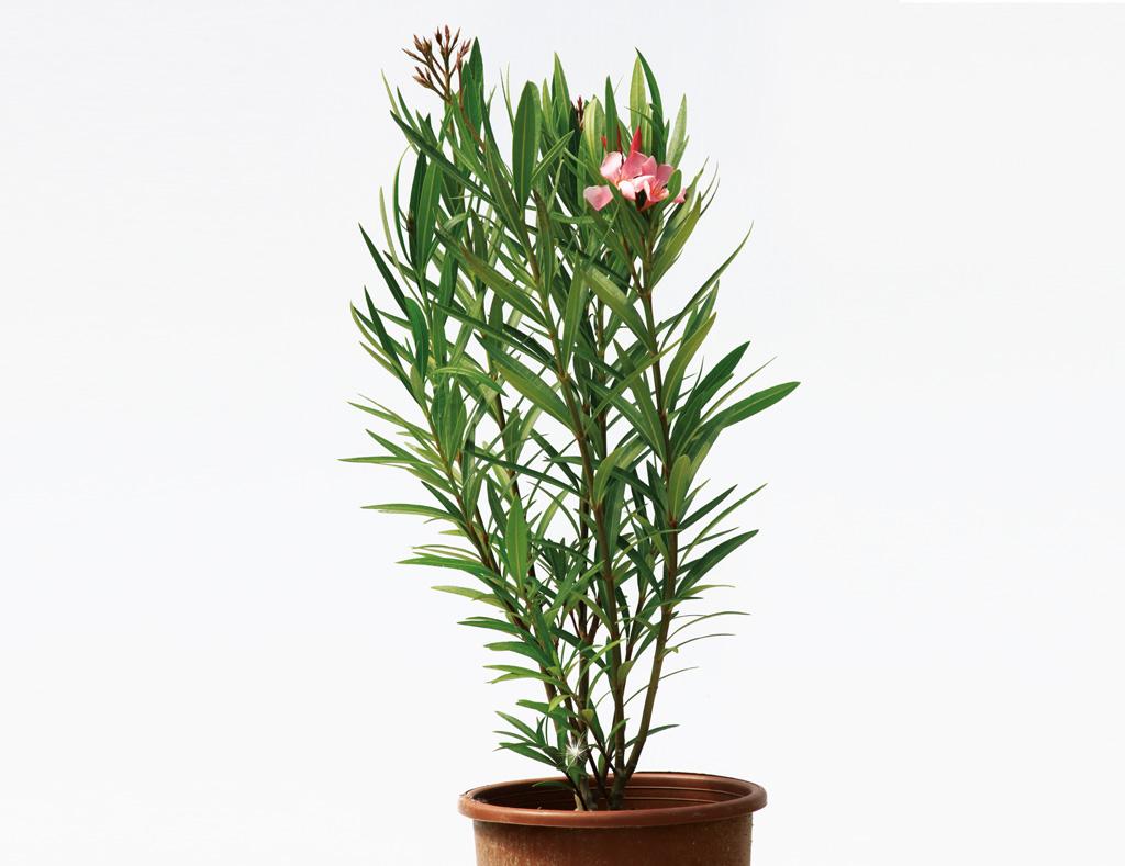 nerium oleander edip g ler fidanc l k. Black Bedroom Furniture Sets. Home Design Ideas