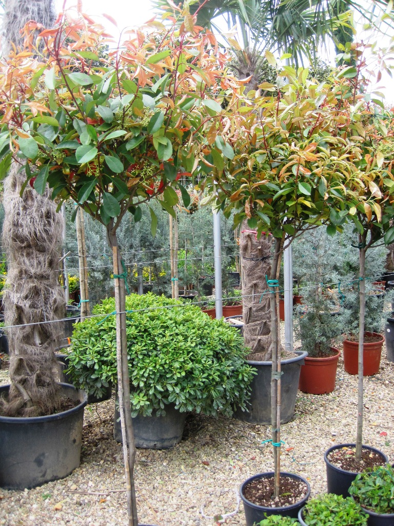 photinia red robin red tip photinia plants on demand photinia x fraseri red robin landscape. Black Bedroom Furniture Sets. Home Design Ideas