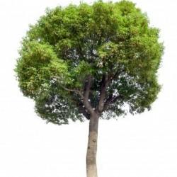cinnamomum-camphora