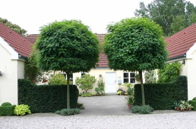robinia pseudoacacia umbraculifera edip g ler fidanc l k. Black Bedroom Furniture Sets. Home Design Ideas