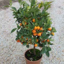 citrus-mitis