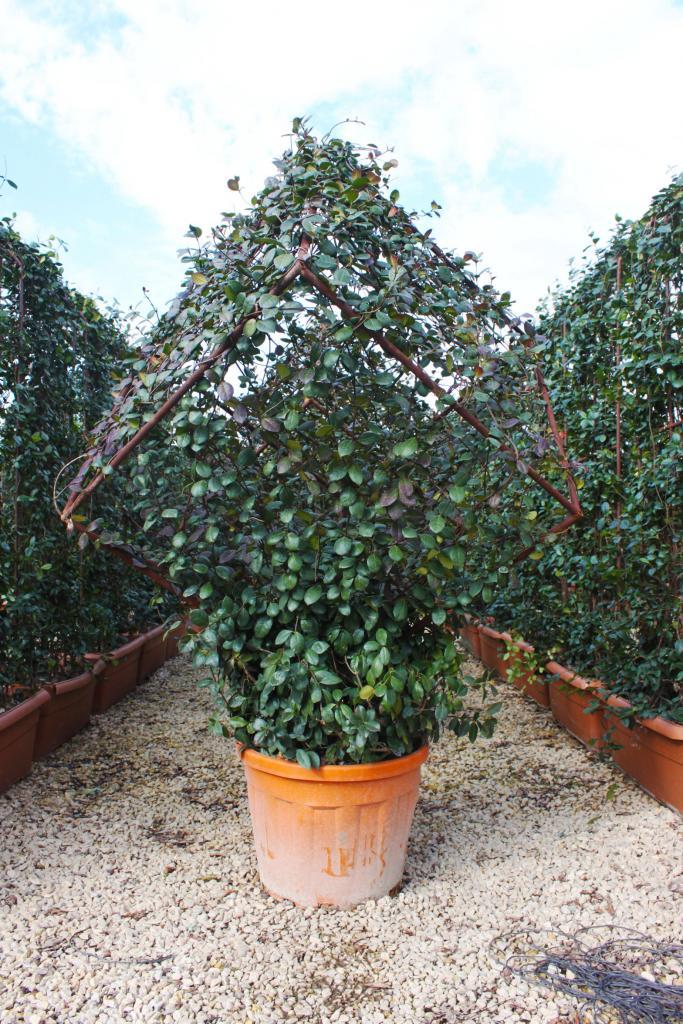 Rhynchospermum jasminoides 'CUBE'
