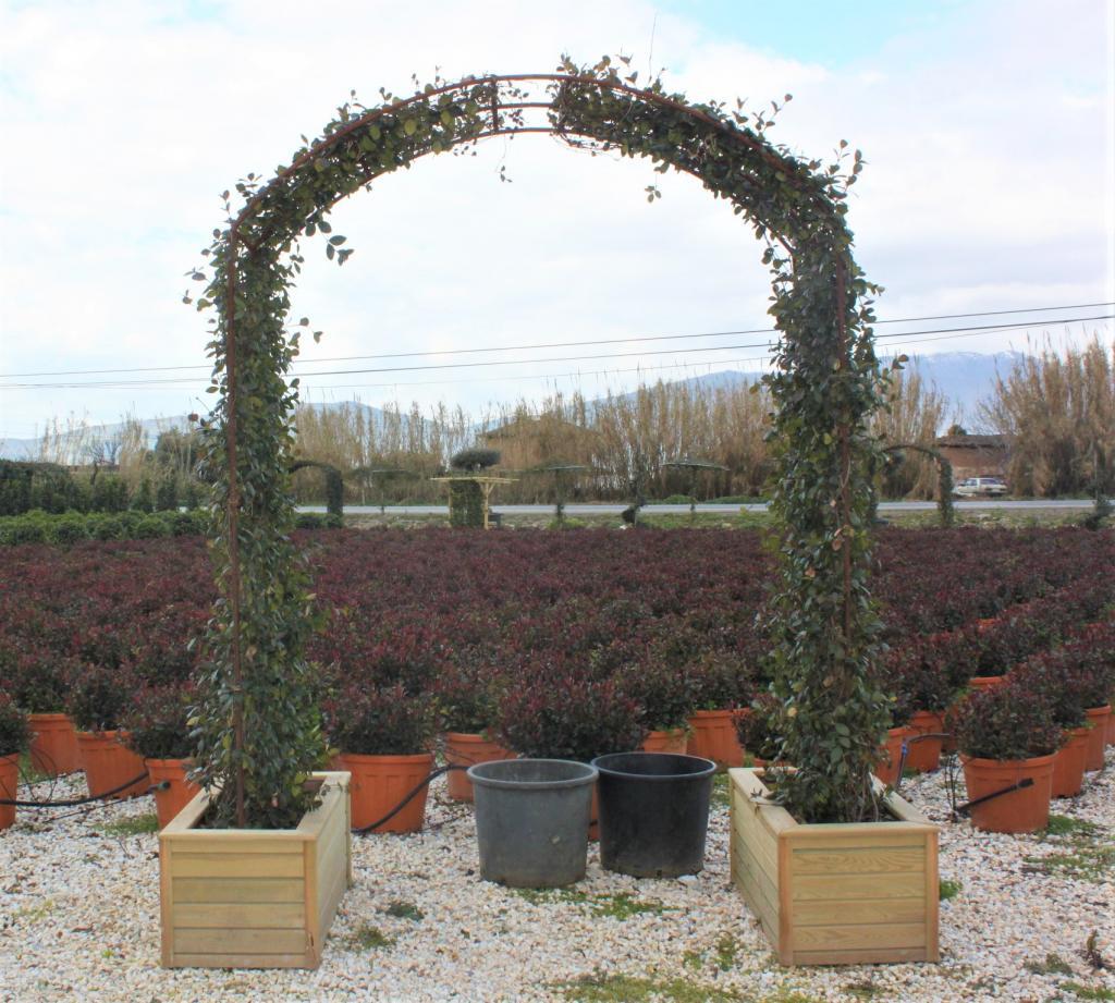 Rhynchospermum jasminoides 'ARK'