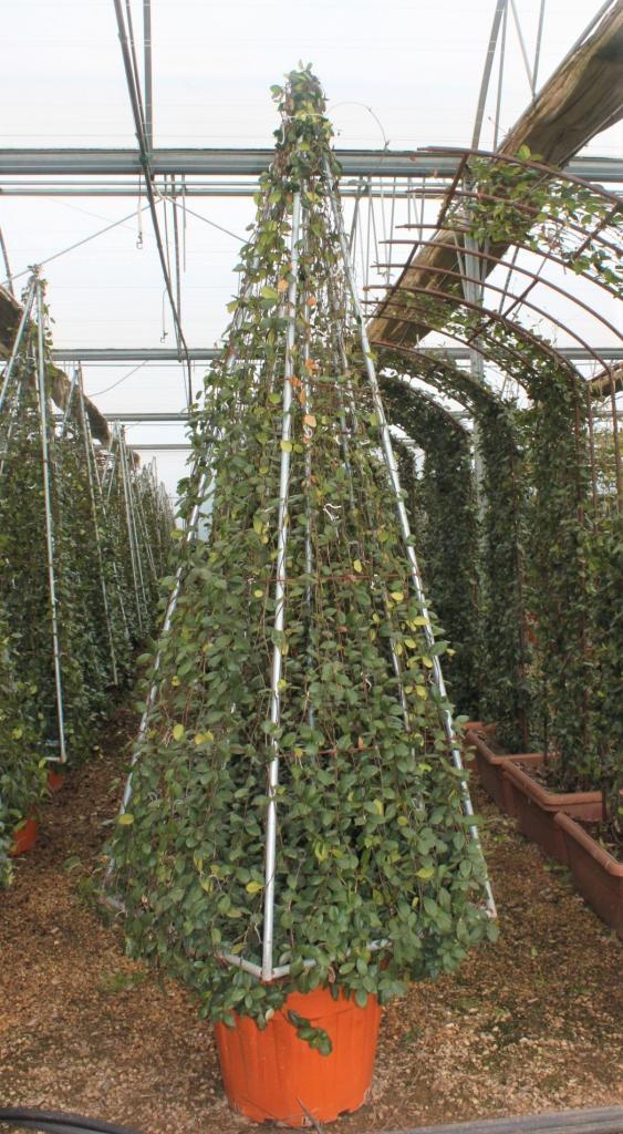 Rhynchospermum jasminoides 'PYRAMİDALİS'