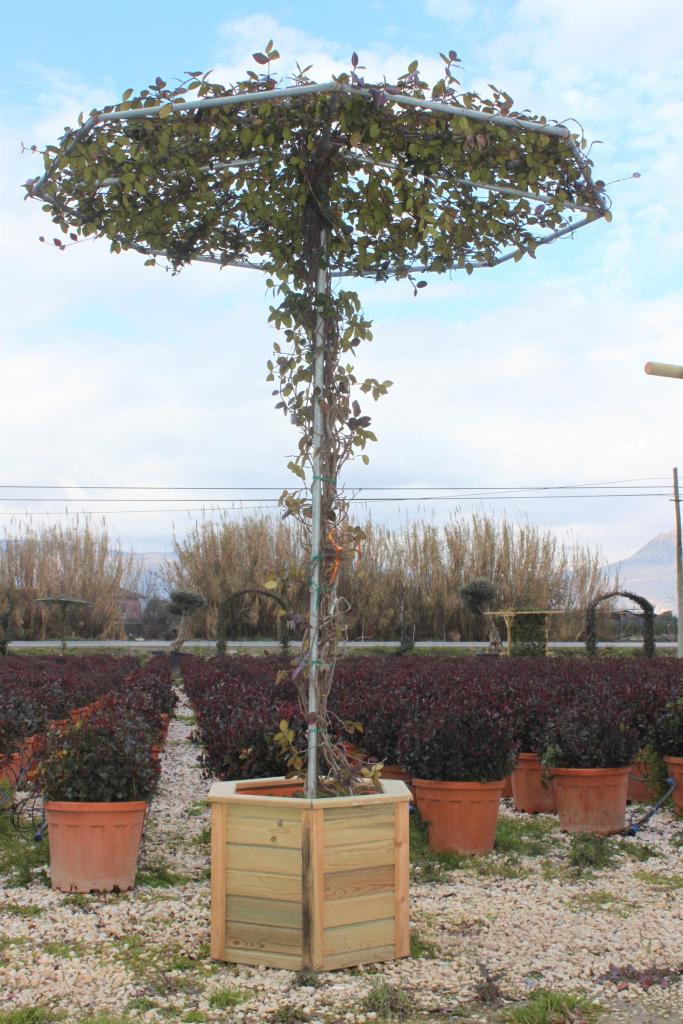 Rhynchospermum jasminoides 'UMBRELLA'